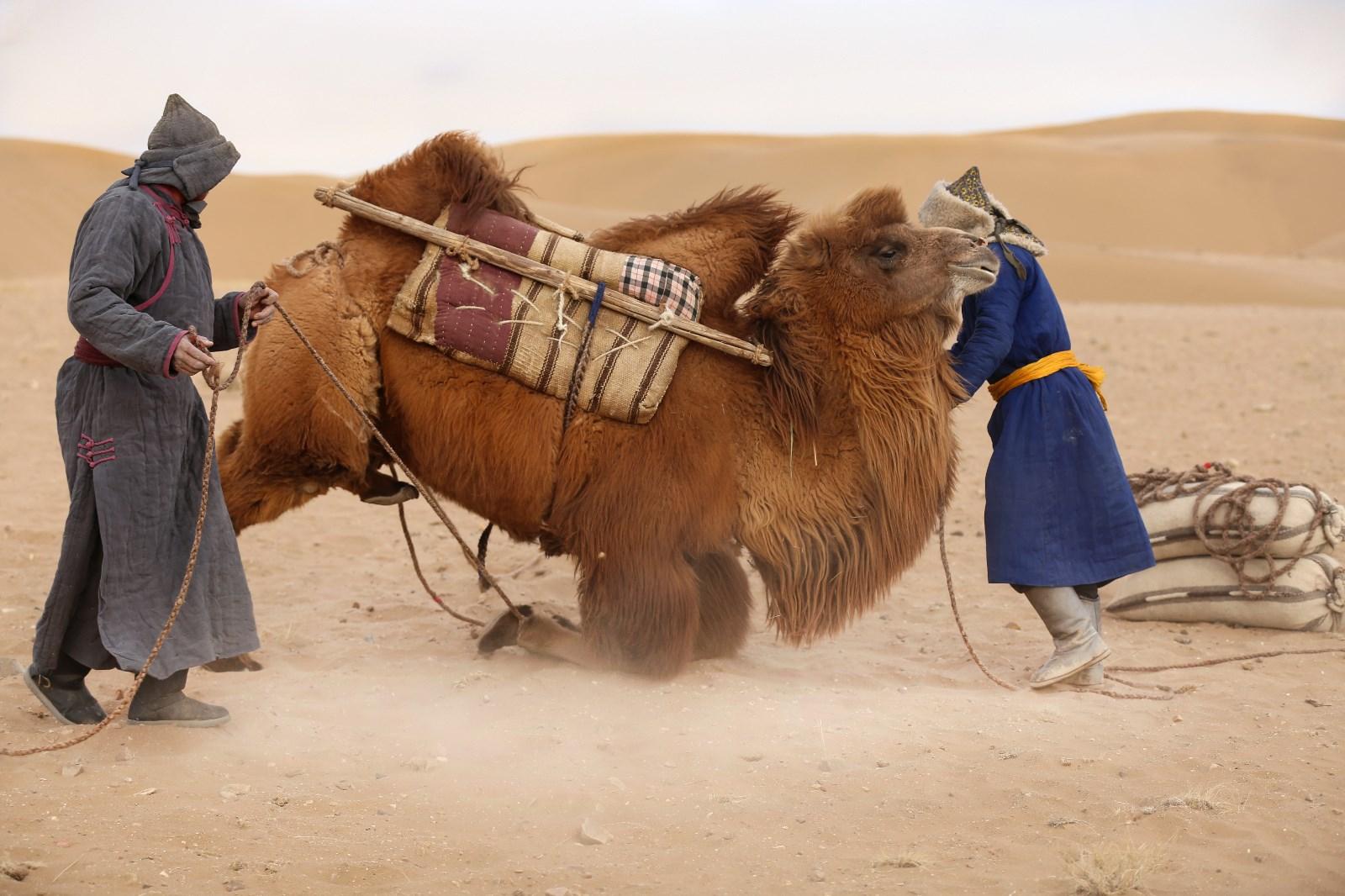 丝路驼运——(4)未训好的骆驼.jpg