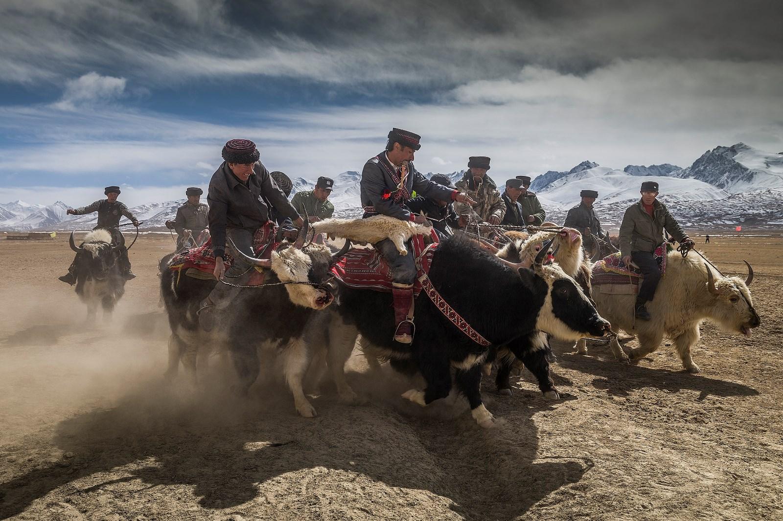 高原牦牛叼羊.jpg