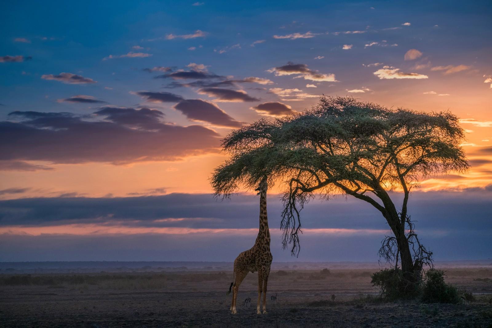 《晚霞里的长颈鹿》.jpg
