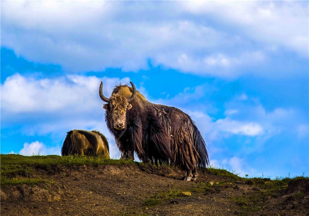壤巴拉野牦牛.jpg